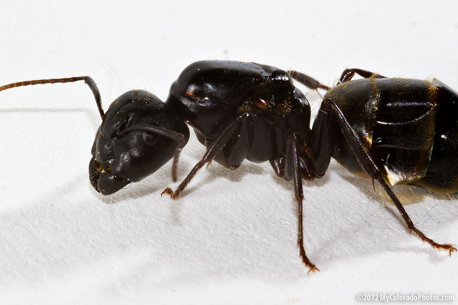 big black ant - photo #9