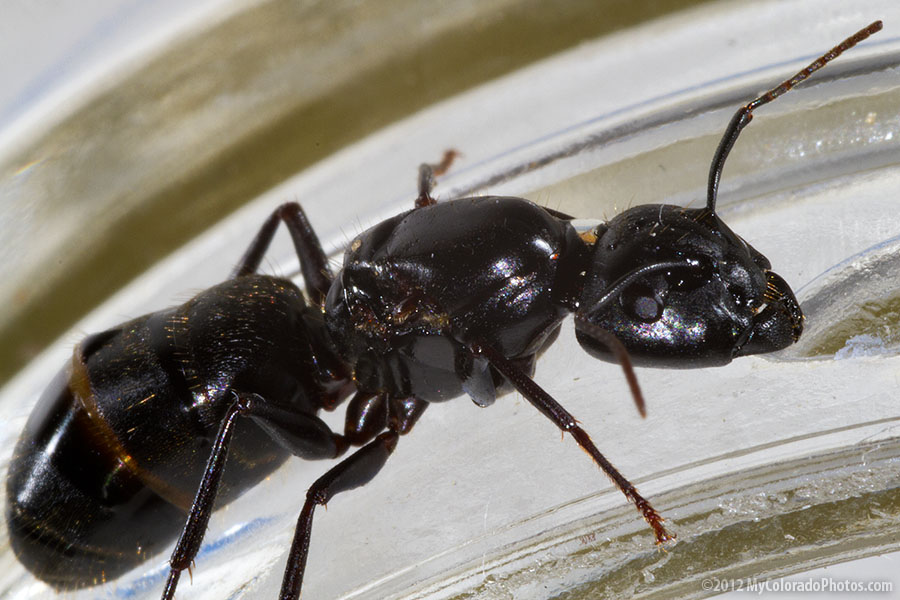 how to get rid of big black ants