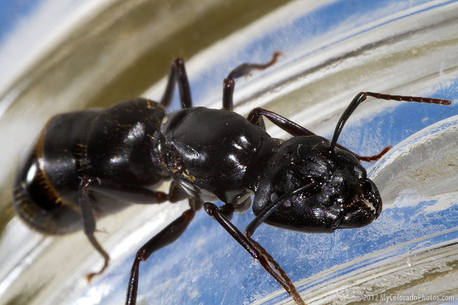 big black ant - photo #21