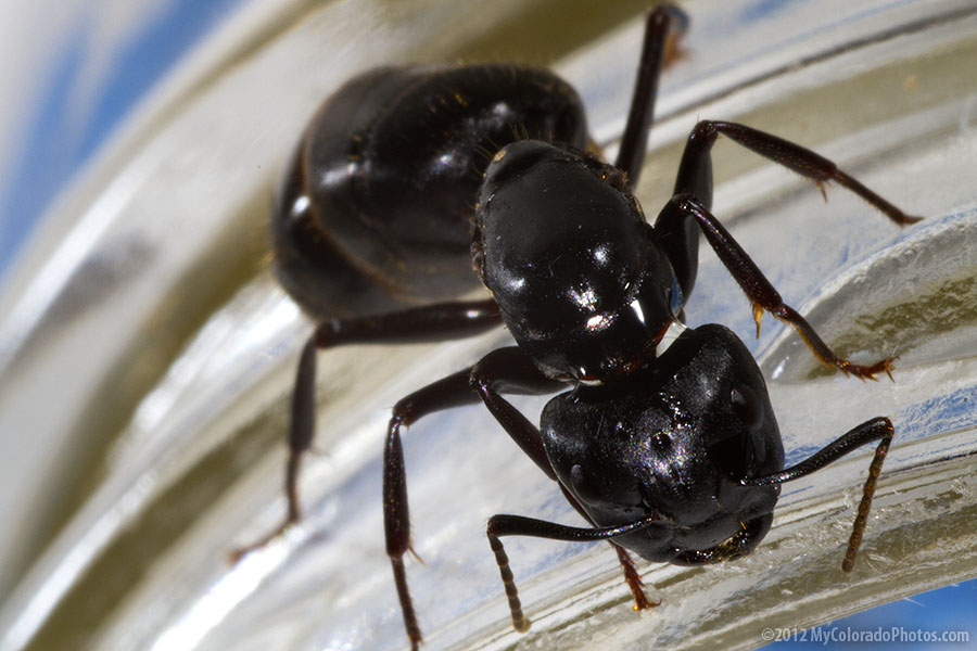 big black ant - photo #20