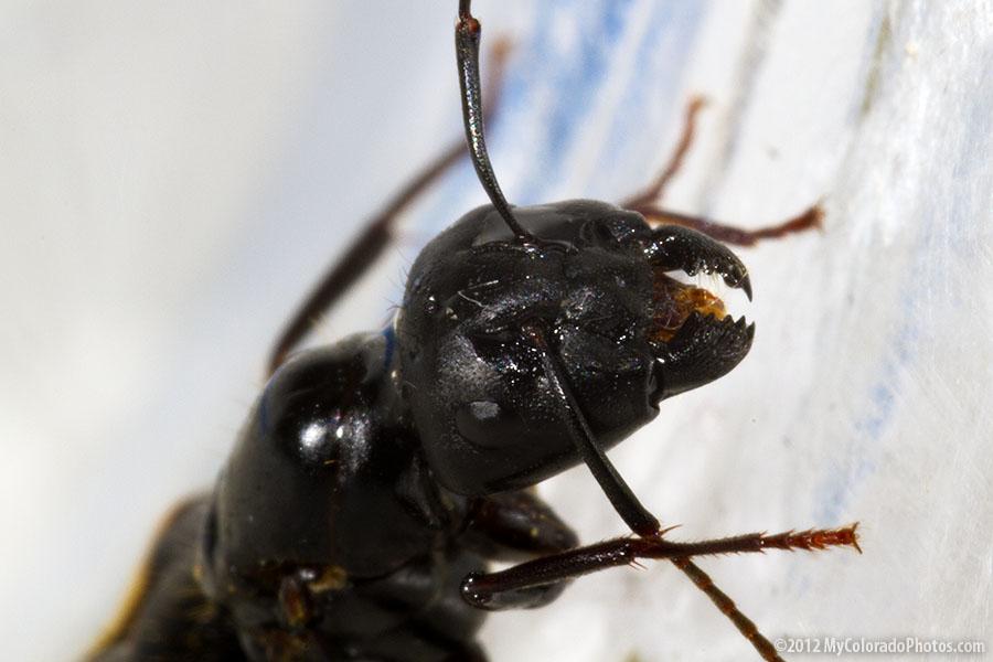 big black ant - photo #12